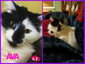 Ava Maine Coon Cat