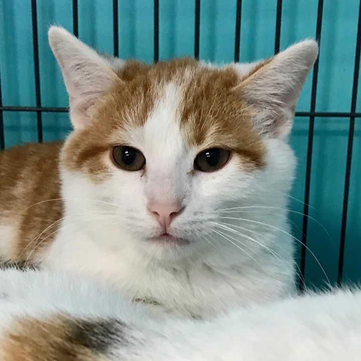 Monty, an adoptable Tiger in Monticello, IL