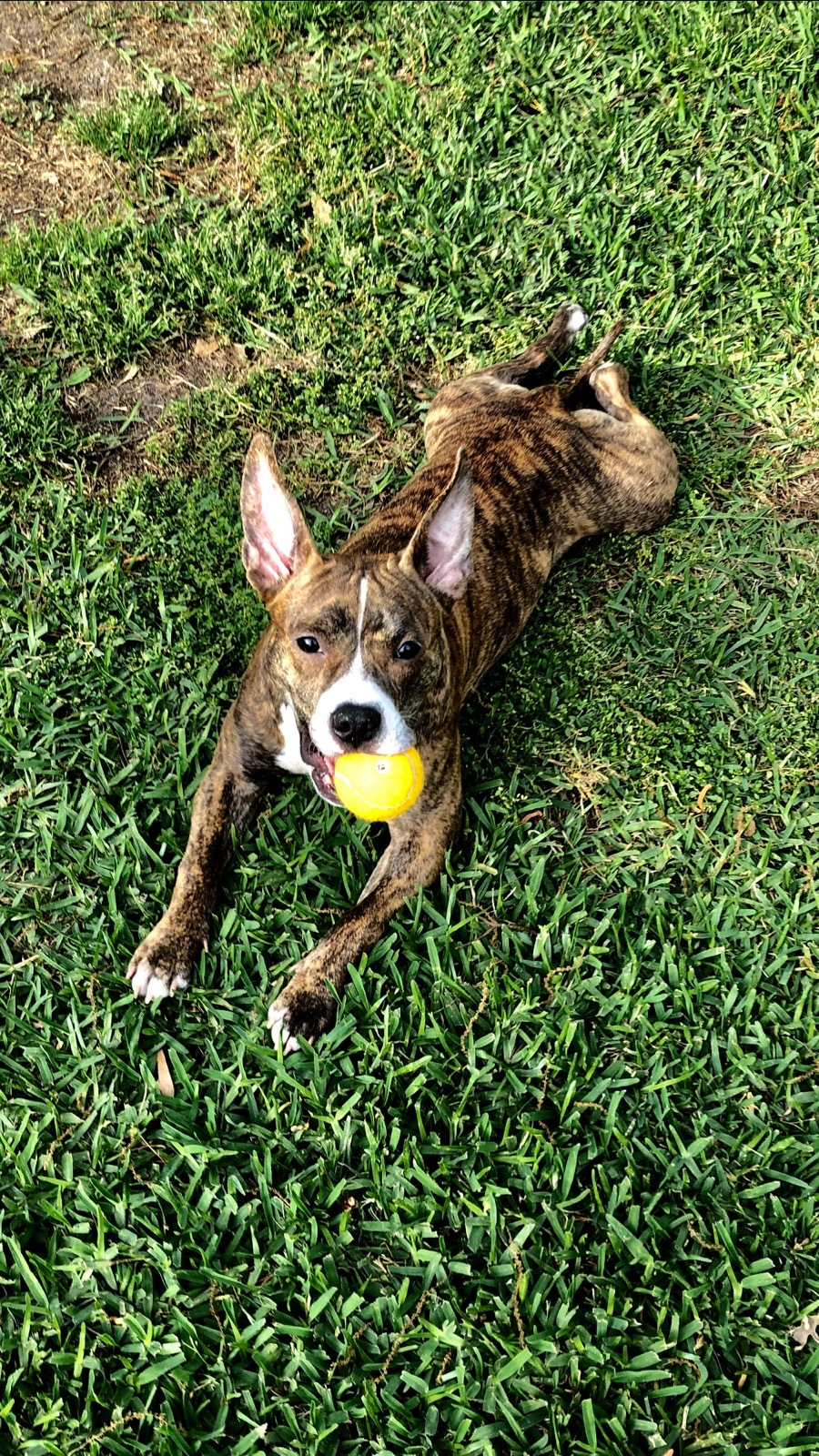 Bailey, an adoptable American Staffordshire Terrier Mix in Charleston, SC