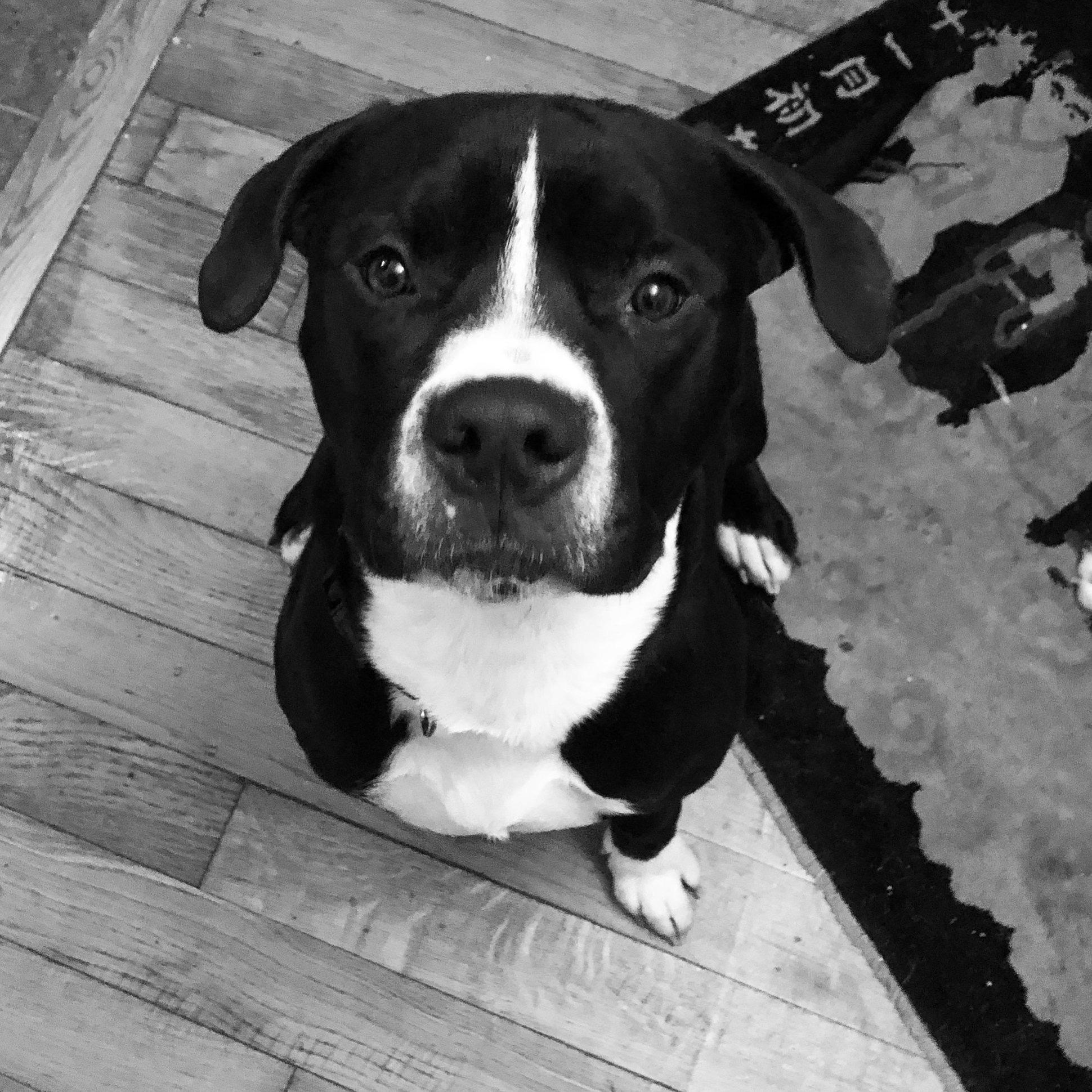Trevor, an adoptable Boxer Mix in Charleston, SC