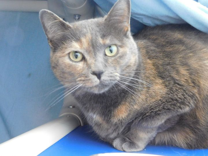 Gracie, an adoptable Dilute Calico in Ridgway, CO