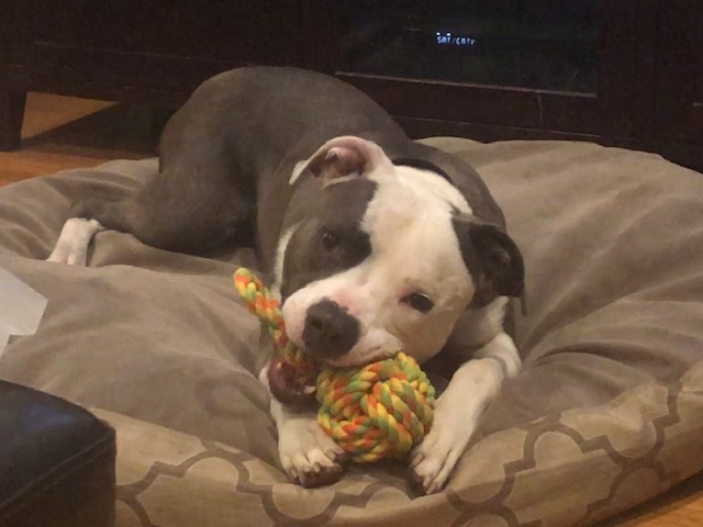 TJ, an adopted Pit Bull Terrier Mix in Gilroy, CA