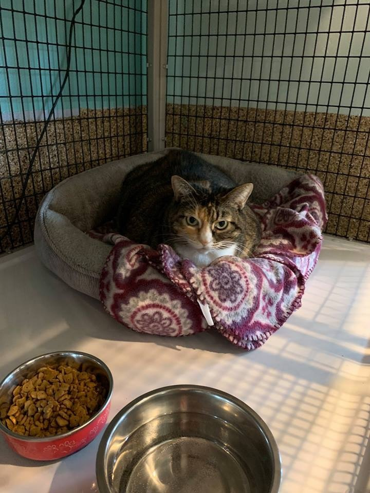 Mutzy, an adopted Domestic Short Hair in Shoreline, WA