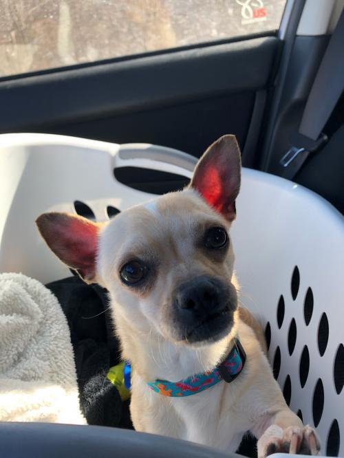 Roland, an adoptable Chihuahua Mix in Catasauqua, PA