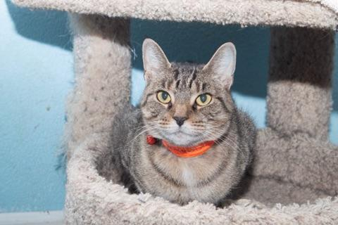 Banjo, an adoptable Domestic Short Hair in Medford, NY