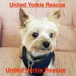 Dog for adoption - Rocco, a Yorkshire Terrier in Orlando, FL | Petfinder