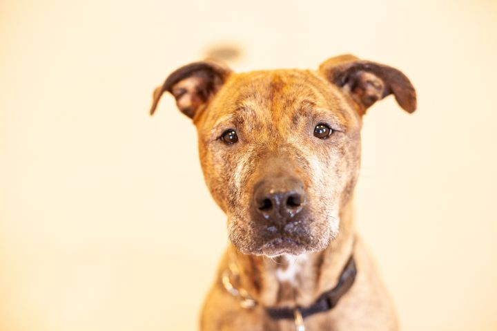 Simia, an adoptable American Staffordshire Terrier Mix in Appleton, WI