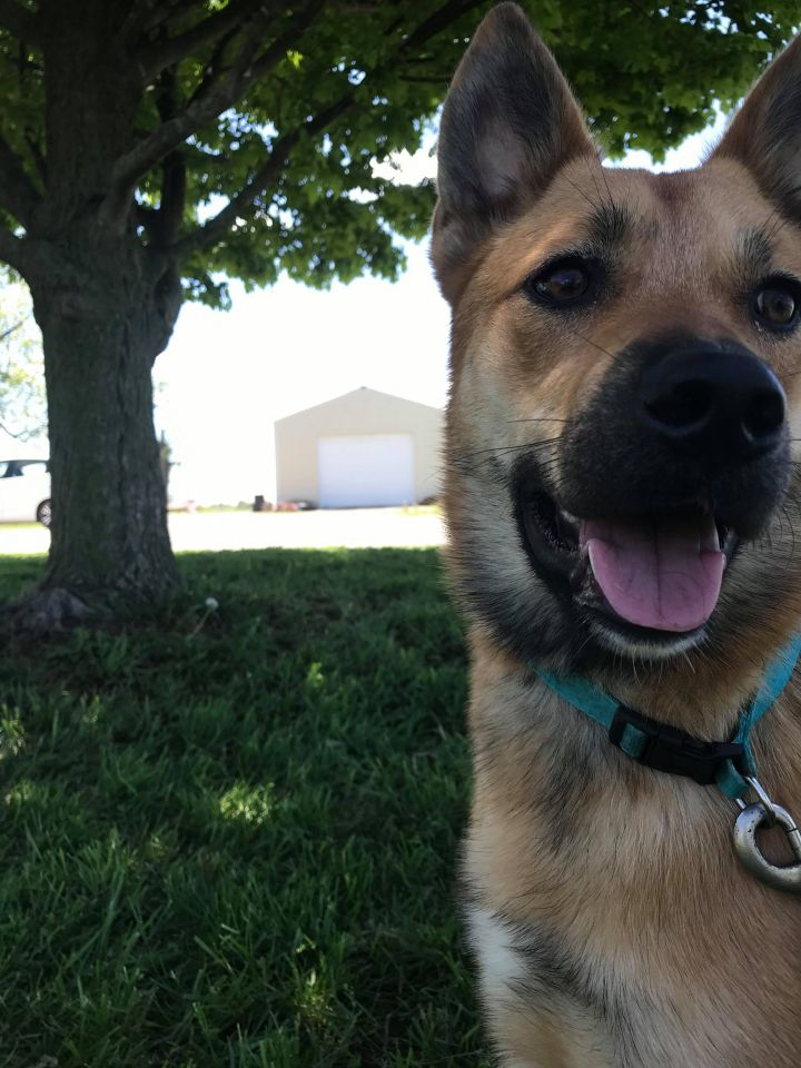 Pixie, an adopted German Shepherd Dog Mix in Drexel, MO