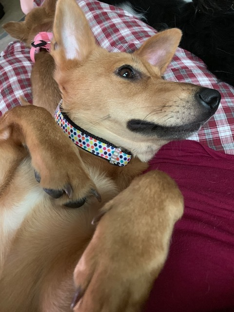 Dog For Adoption Jju A Corgi Jindo Mix In Renton Wa