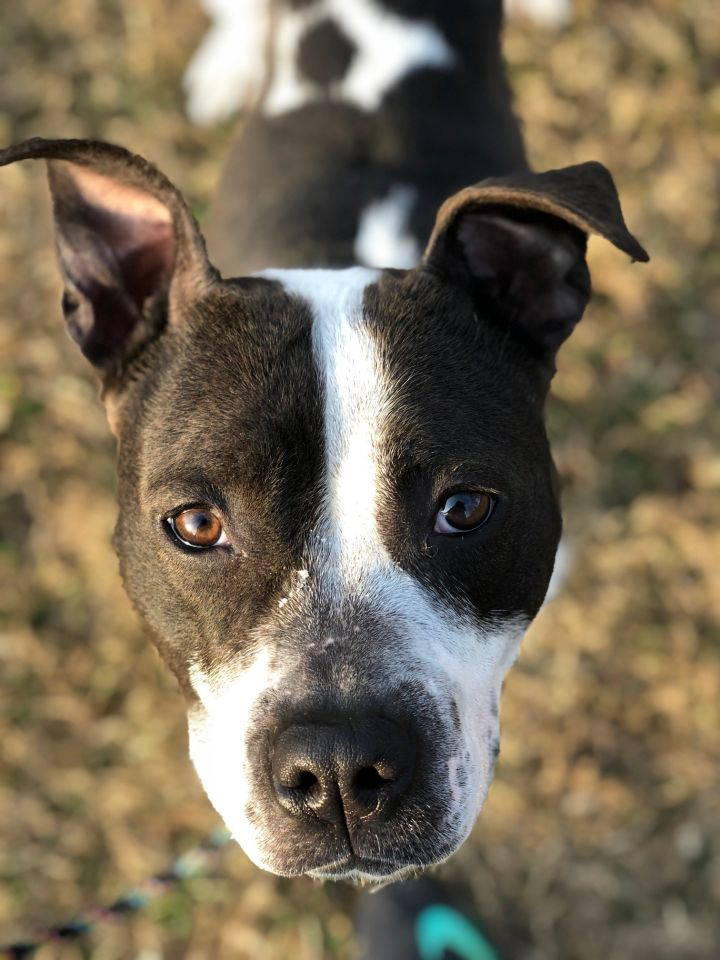 Katara, an adopted Pit Bull Terrier Mix in Harrisburg, PA