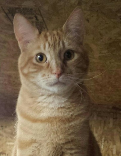 Warrior, an adoptable Tabby in Waverly, IA