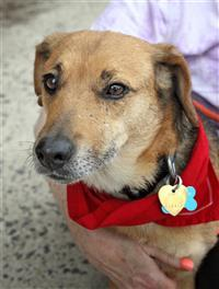 Dog for adoption - Felicia, a Beagle & Cairn Terrier Mix in