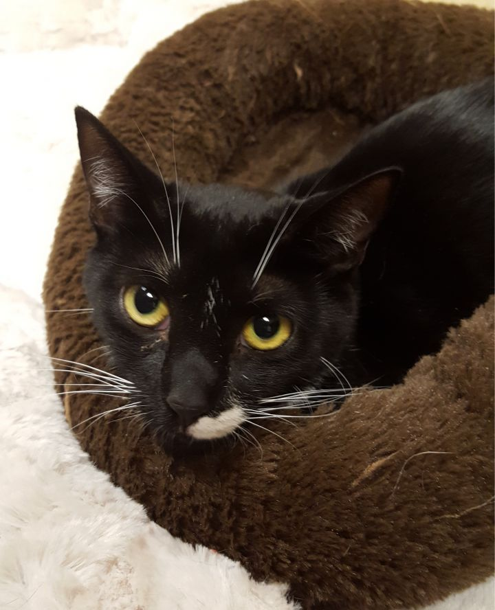 Addy (Special Adoption Fee), an adoptable Domestic Short Hair in Smithfield, NC