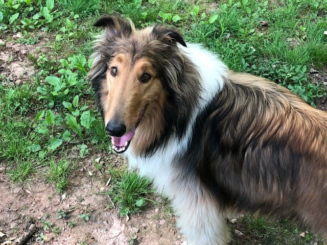 Brody, an adopted Collie in Chantilly, VA
