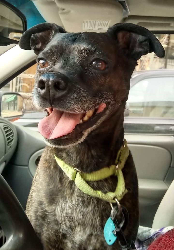 Toby, an adopted Boston Terrier Mix in Kittanning, PA