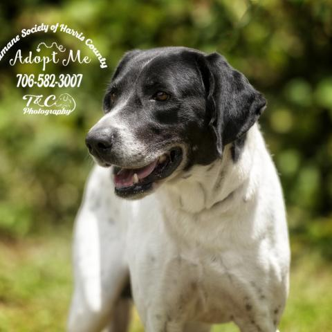 Cable, an adoptable English Pointer Mix in Hamilton, GA