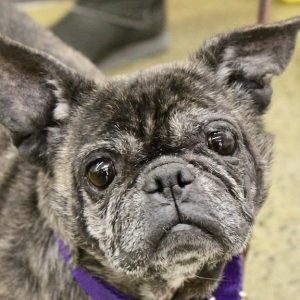 Dog For Adoption Magdalina A French Bulldog Pug Mix In Albany