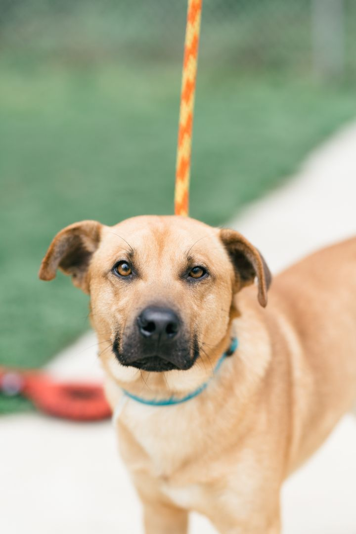 Pistol, an adopted Mountain Cur & Retriever Mix in Gainesville, GA