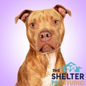 Dog for adoption - Sassy 152447, a Pit Bull Terrier in Ravenna, OH
