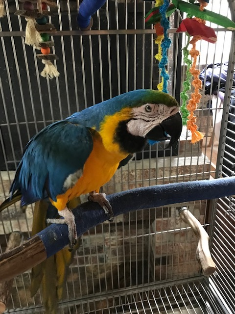 Isabella, an adoptable Macaw in Jacksonville, FL