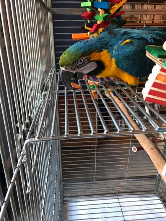 Milagro, an adoptable Macaw in Jacksonville, FL