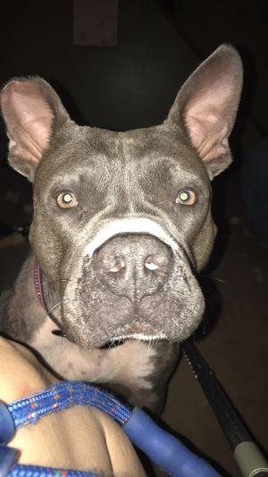Angel Pit Bull Terrier Dog
