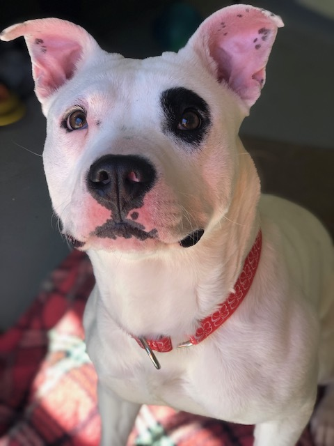 Quesadilla, an adopted American Bulldog & Terrier Mix in Mendham, NJ