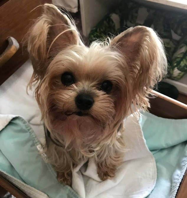 Dog for adoption - Cocoa, a Yorkshire Terrier in Orlando, FL
