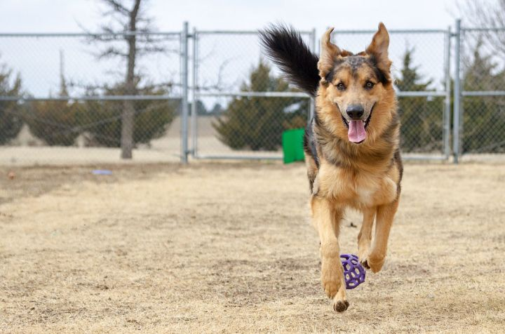 Crash, an adopted Australian Shepherd & German Shepherd Dog Mix in Hays, KS