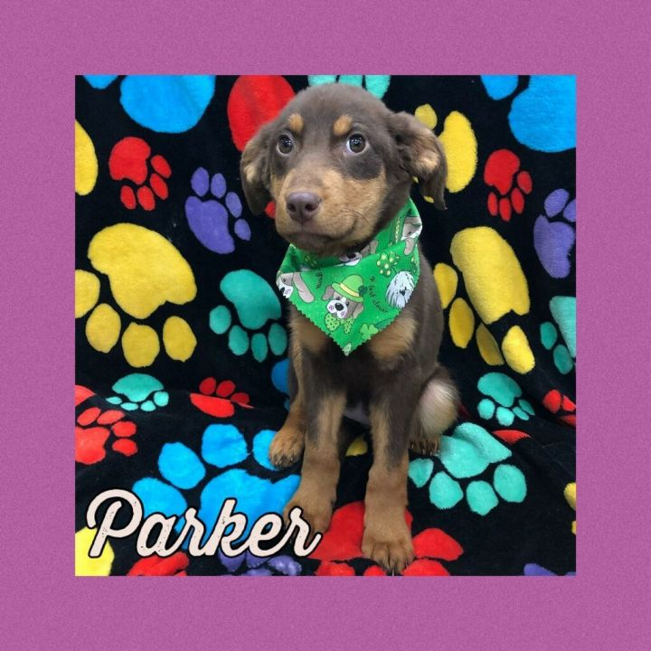 Dog for adoption - Parker, a German Shepherd Dog Mix in