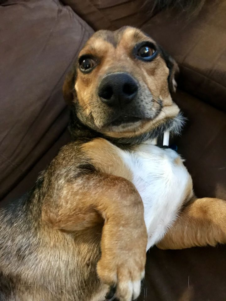 Murray, an adopted Dachshund Mix in Madison, WI