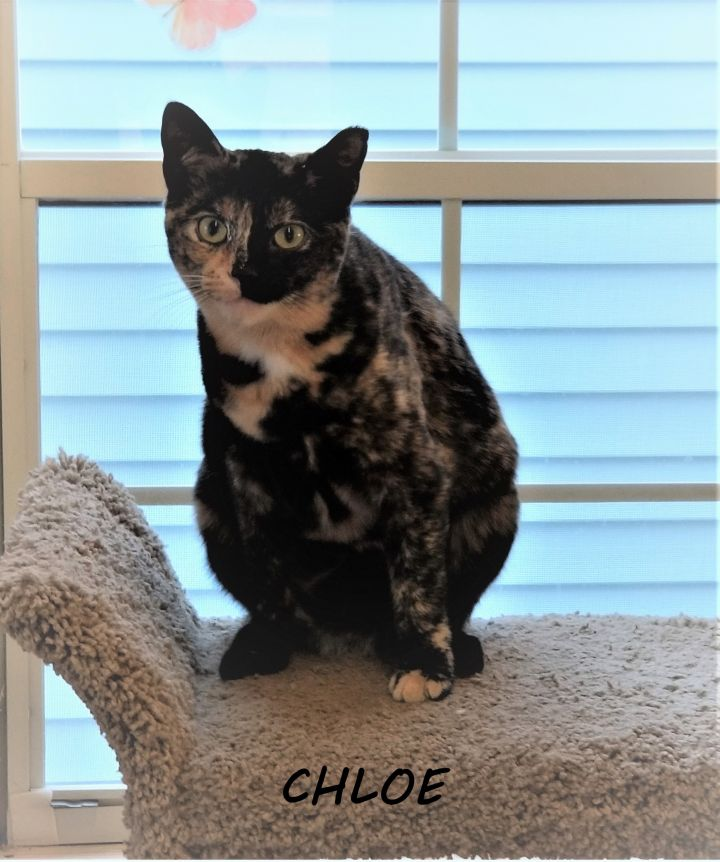 ChloeCP, an adopted Domestic Short Hair in Boiling Springs, PA