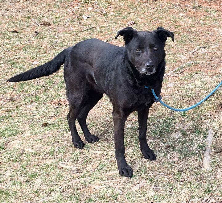 Precious, an adoptable Labrador Retriever Mix in Springfield, IL
