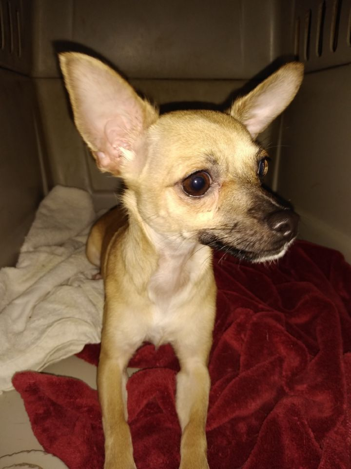 Joy, an adopted Chihuahua in Fort Worth, TX