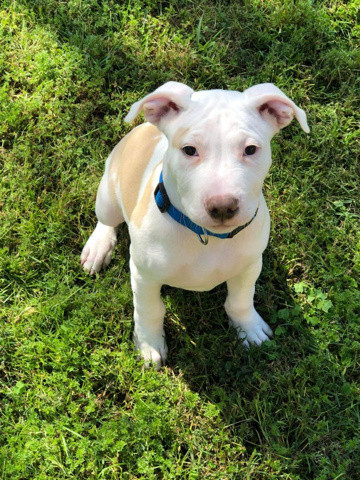 Moby, an adopted American Staffordshire Terrier & American Bulldog Mix in Houston, TX