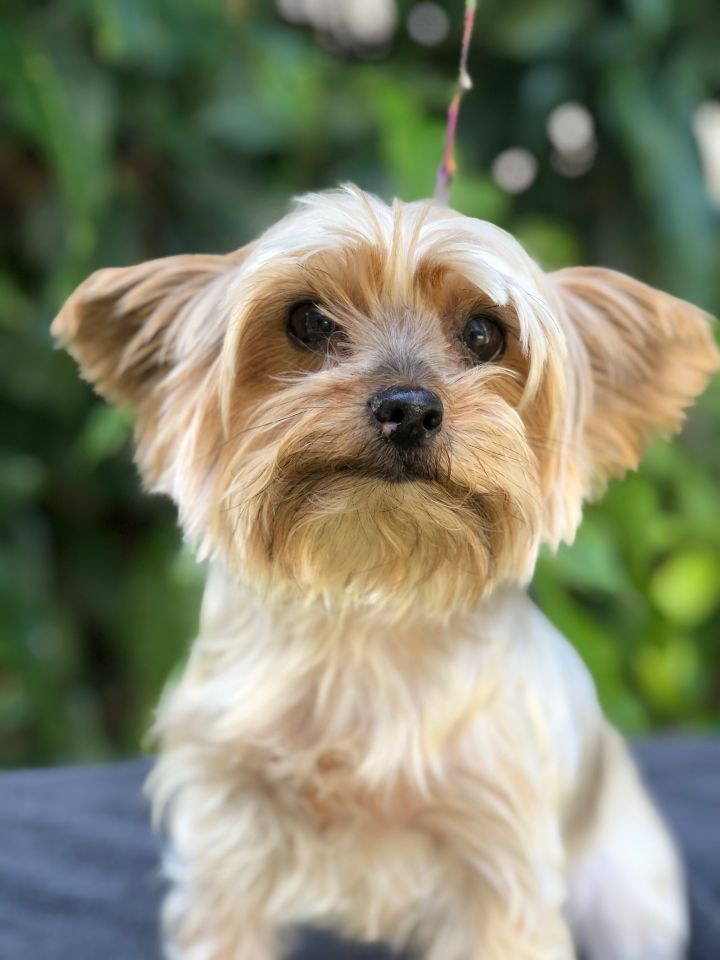 Francie, an adopted Yorkshire Terrier in Davie, FL