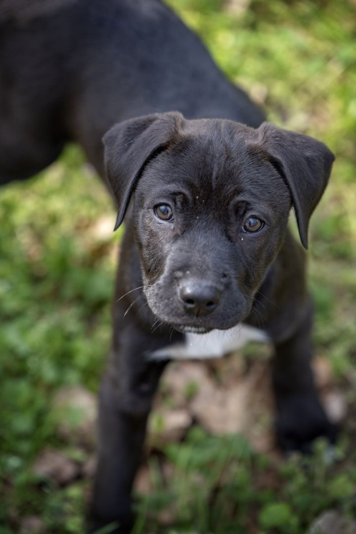 Jewel, an adopted Boxer & Labrador Retriever Mix in Greenville, SC