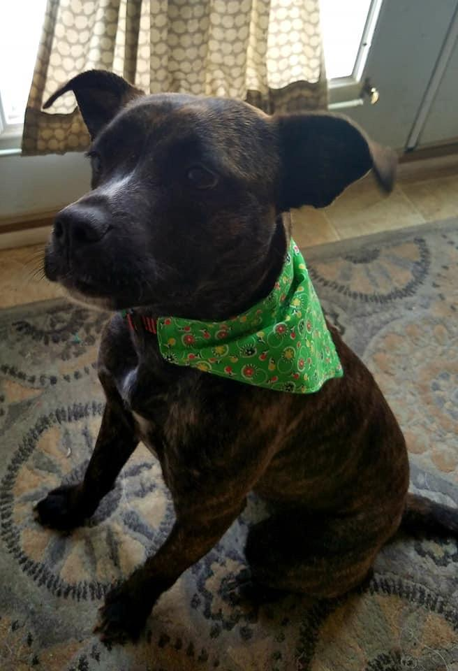 Petrie, an adopted Pit Bull Terrier Mix in Greenville, NC