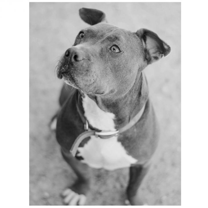 Tyson, an adopted American Staffordshire Terrier Mix in Kingwood, TX