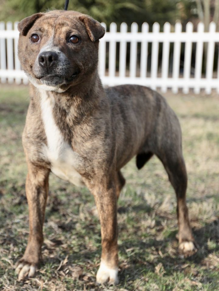Tom's Queen, an adoptable Shar-Pei Mix in Mishawaka, IN