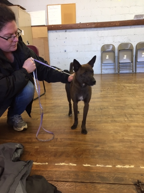 Pickles, an adopted Chihuahua & Manchester Terrier Mix in Brockport, NY