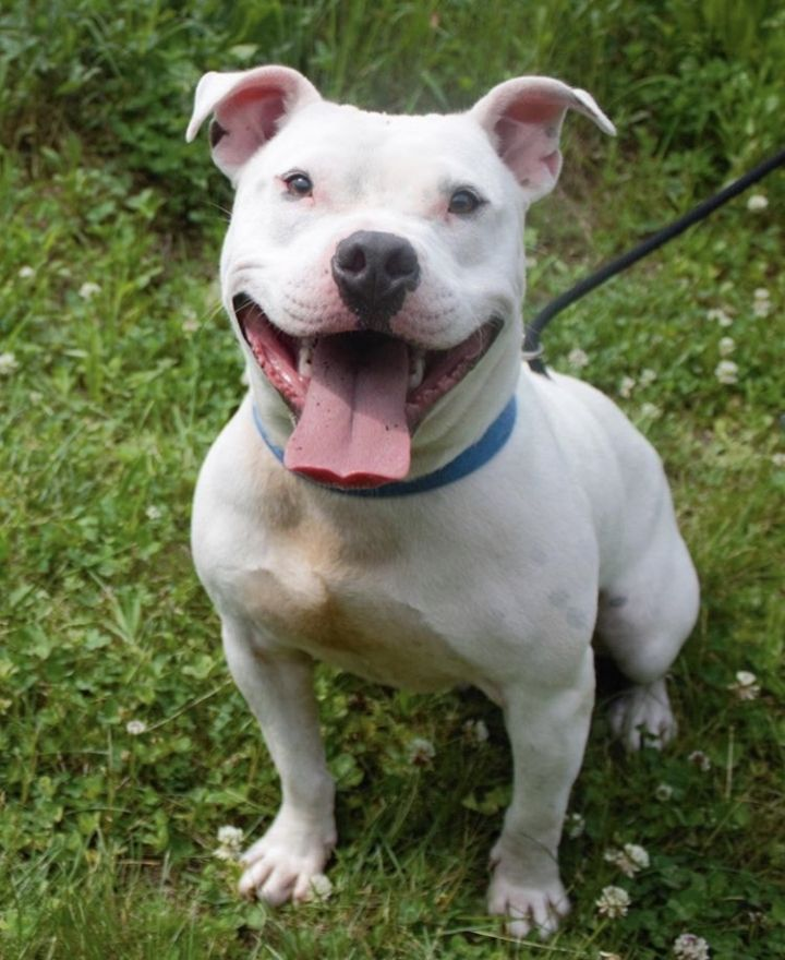 Wally, an adoptable American Bulldog & Pit Bull Terrier Mix in Dillsburg, PA