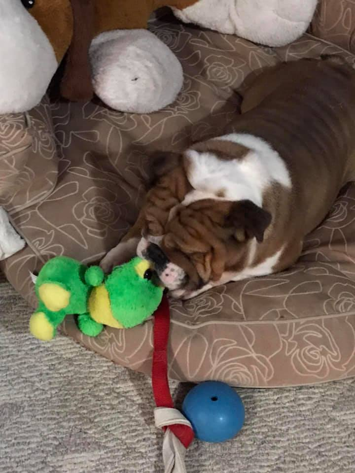 Moose, an adoptable English Bulldog in Decatur, IL