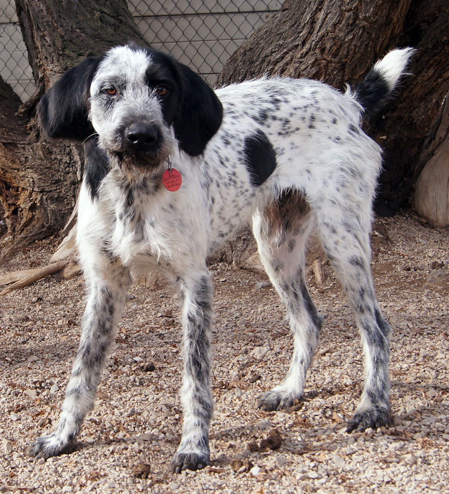 Dog For Adoption Luther A German Wirehaired Pointer In
