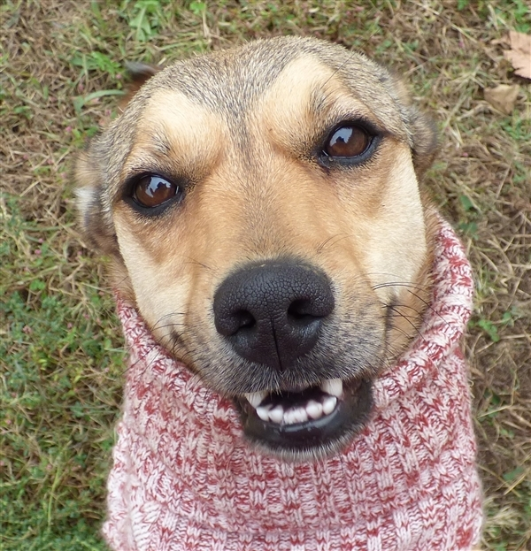 Sassy, an adoptable Shepherd Mix in Louisville, KY