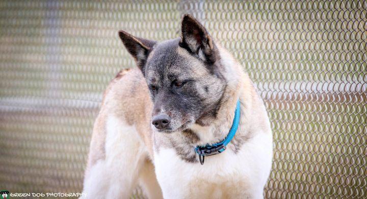 Farrah, an adoptable Akita in Lake Odessa, MI