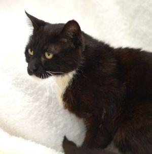 Ally  (1960) Tuxedo Cat