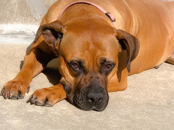 Dog for adoption - Darcy, a Boxer & Mastiff Mix in Fremont
