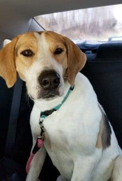 Dog for adoption - Sally, a Hound & Great Pyrenees Mix in