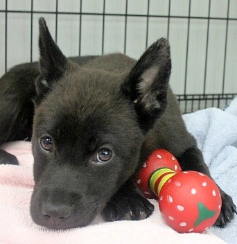 Ivy, an adopted Shepherd & Retriever Mix in Reston, VA